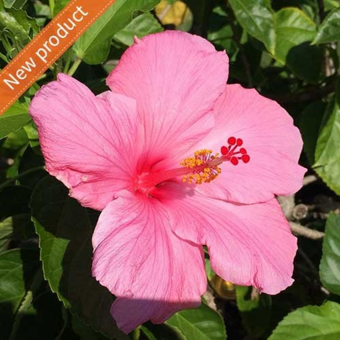 Fantasia Dainty Pink - My Plant Journal - An online diary for plant
